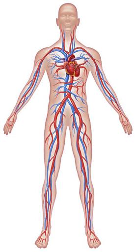 01. The Circulatory System - Asahi-Intecc USA Medical